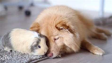 guinea pigs and dogs and guinea pig are unlikely best friends