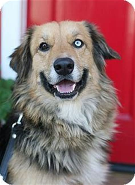 golden retriever australian shepherd mix australian shepherd golden retriever mix