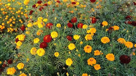 new year marigold flower 143 marigold flower information in collect