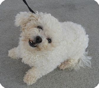 bichon frise puppies ohio adopted wilmington oh bichon frise mix