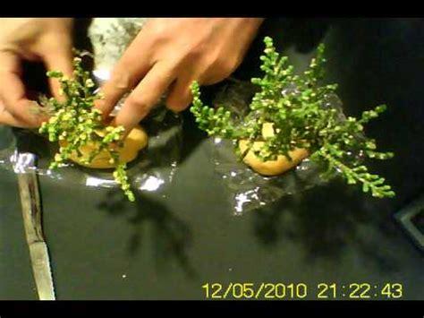 como hacer un pesebres imgenes arbol enano para belen tree for nativities avi youtube