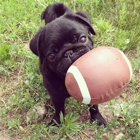 black pugs matter 15 signs you re a pug person and damn proud to be sivar es humor