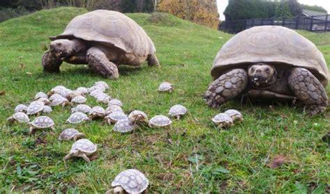 gabbie per tartarughe di terra felicit 224 a portata di za l arresto carlino