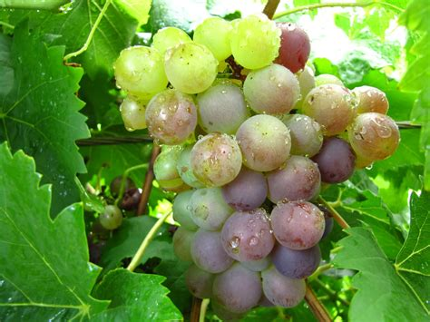 grapes fruit tree daleys fruit tree wonderful wees and glorious grapes