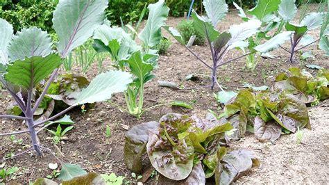 wann ist kohlrabi erntereif kopfsalat anbauen freilandkultur und salat im gew 228 chshaus