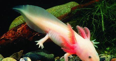 Makanan Ikan Hias Naga ajas manfaat ikan air tawar yang mirip naga