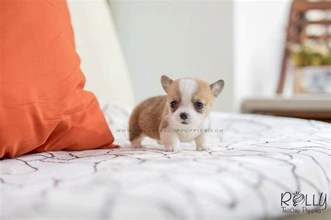teacup corgi puppies for sale sold to margalef pam corgi f rolly teacup puppies