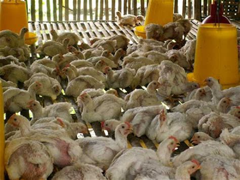 Bibit Ayam Broiler Terbaru budidaya ayam pedaging broiler yasmu i pemilik