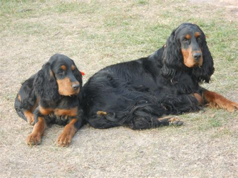 setter puppies mn gordon setter puppies for sale in northern wisconsin