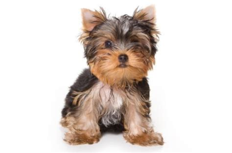 yorkie names unique yorkie names yorkie names yorkie yorkie animals