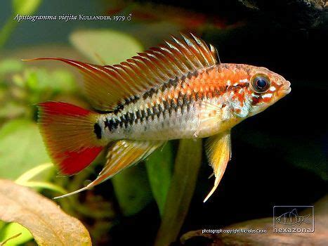 Ikan Apistogramma Indukan apistogramma viejita fish cichlid plechostymus
