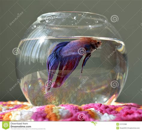 animates betta design aquarium mono aquarium with betta fish stock photo image 51372388