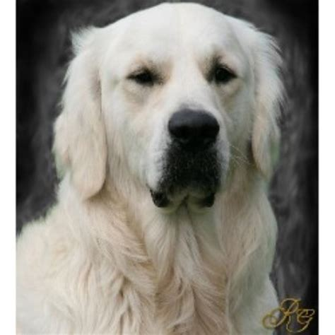 nc golden retriever breeders recherche goldens golden retriever breeder in statesville carolina