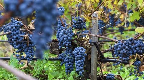 viti in vaso vendita viti da in vaso vendita piante