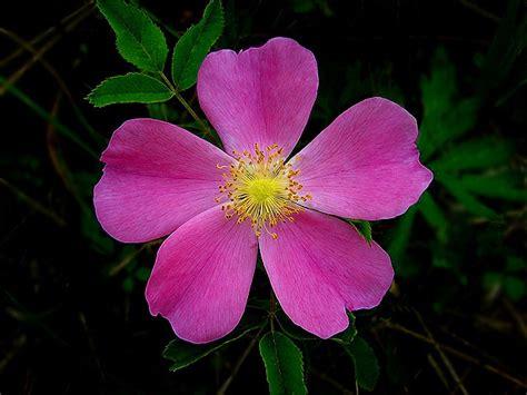 iowa wild flowers google search iowa wildflowers