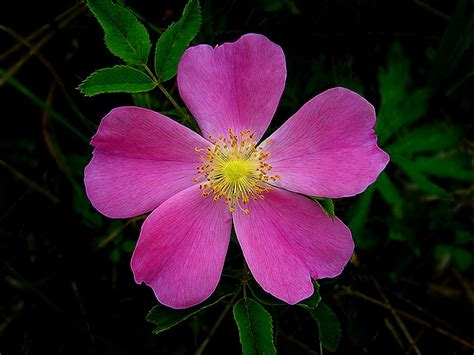 State Flower Of Iowa | wild rose iowa state flower travel iowa usa