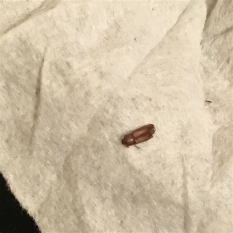 identify bed bugs bug identification questions bed bug forum