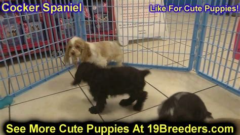 dogs for sale in charleston sc cocker spaniel puppies dogs for sale in charleston south carolina sc rock hill