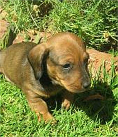 golden retriever rescue south africa dachshund rescue south africa photo