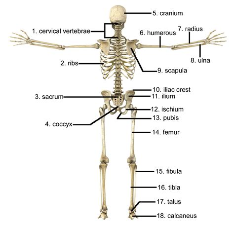 human bones diagram human skeleton bones