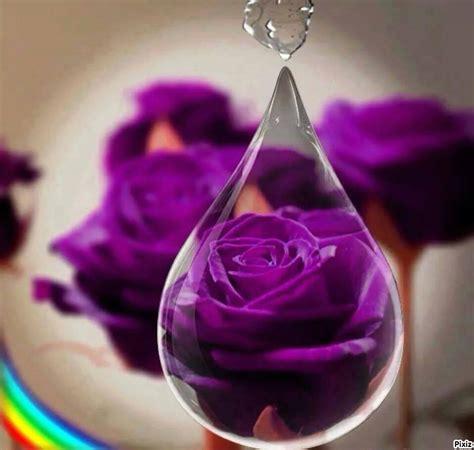 imagenes de rosas negras y moradas imagenes de rosas moradas imagui