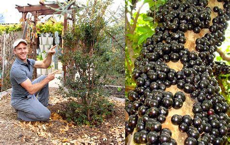 tree to plant how to plant grow a jabuticaba tree grape