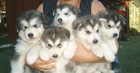 alimentazione cuccioli di alla ricerca siberian husky cerco cucciolo di razza