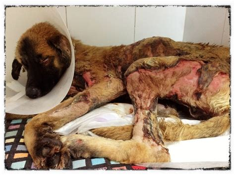 pets alive dogs tidus a burned alive by criminals fights for his lets adopt global