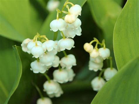 il mughetto fiore mughetti fiori per matrimonio sposarsi in calabria