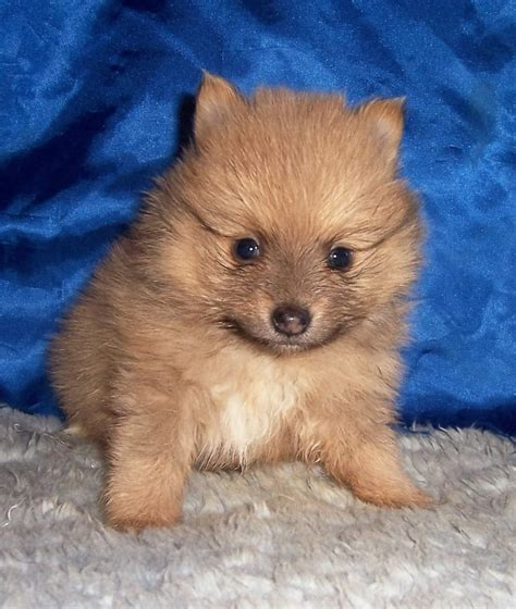 pomeranian wiki breeder small akc puppies for sale in kansas s precious puppies