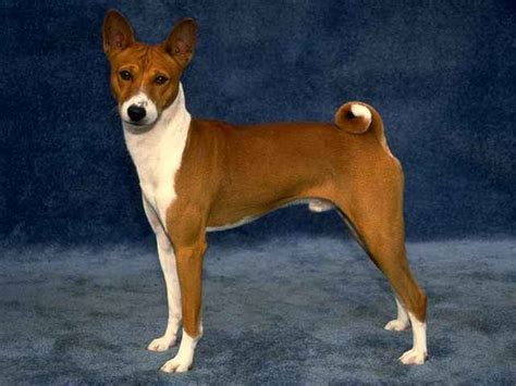 basenji dogs basenji pictures photos and images photo gallery of basenji dogs