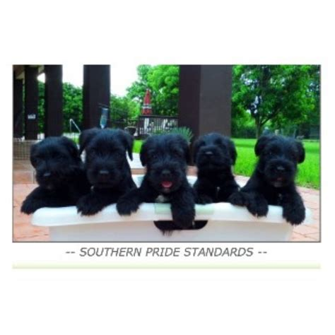 schnauzer puppies florida we found shih tzu breeders in the following states and provinces breeds picture