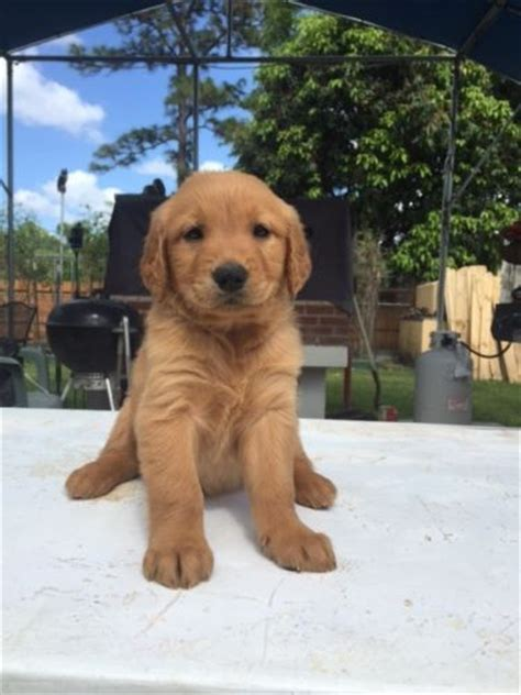 golden retriever puppies miami golden retriever puppies for sale miami fl 199357 petzlover