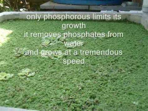 Jual Bibit Azolla Microphylla Jogja azolla pakan organic untuk ternak doovi