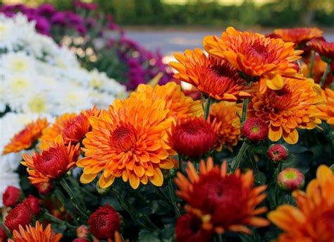 november flowers november birth flower the farmer s almanac
