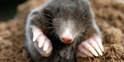 imagenes topos animales como hacer un ahuyentador de topos gratis la huertina de