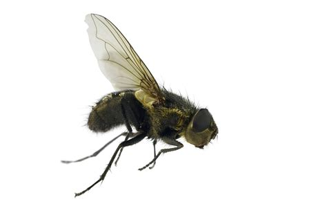 house fly life cycle of housefly pest control facts information pest control com