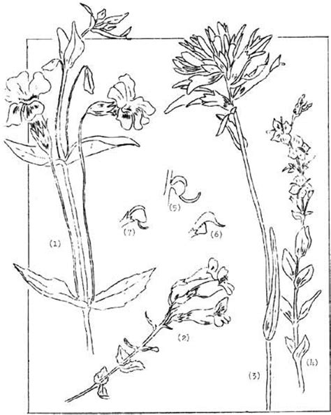 coloring page indian paintbrush 17 best images about texas flowers on pinterest coloring