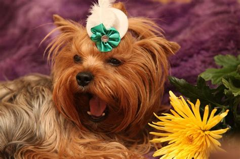 crate for yorkie 97 best images about terrier dogs on northern white