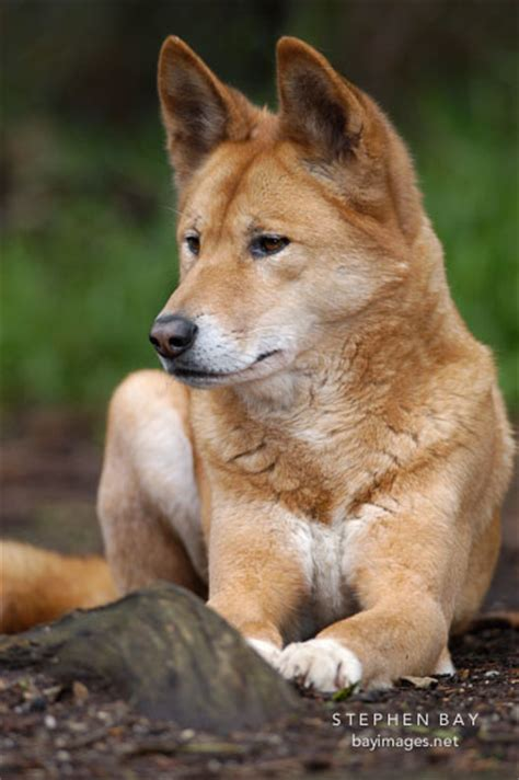 dingo puppy 1000 images about dingos on