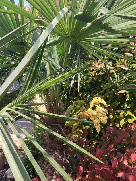 nana da giardino palma nana da giardino