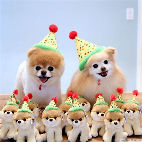 birthday puppies the cutest in the world 37 best pomeranian breed pictures of boo bestpickr