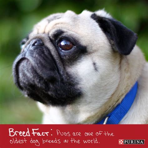 oldest pug in the world 1000 images about breeds on