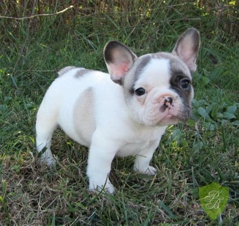 bulldog puppies florida breeders best 25 bulldog breeders ideas on