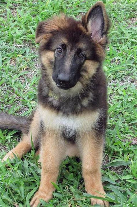 fluffy german shepherd puppy the german shepherd puppies daily puppy