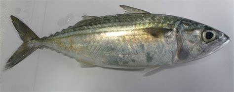 Minyak Hati Ikan Cod omega 3 ikan kembung setara ikan salmon herba shop wahida