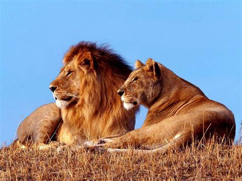 imagenes leones y leonas 191 por qu 233 el le 243 n es el el rey de la selva info taringa