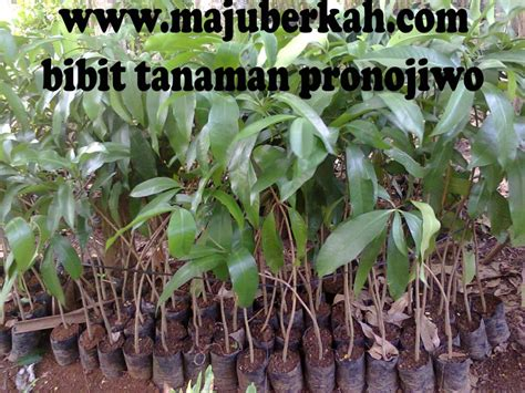 Jual Bibit Tanaman Cengkeh bibit pronojiwo bibit tanaman pronojiwo jual bibit tanaman