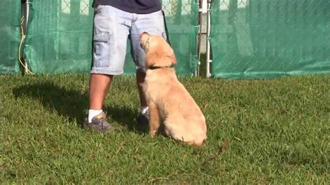 4 month golden retriever 4 month golden retriever obedience