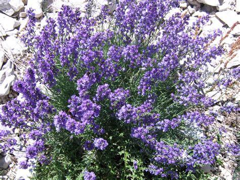 fiori di alta montagna flora e fauna in abruzzo in abruzzo la natura 232 protetta